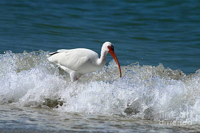 Florida White Ibis In The Surf Poster by Christiane Schulze Art And Photography