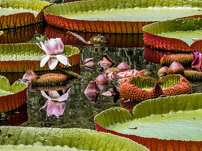 Flower Of Victoria Cruziana Poster by Zina Stromberg