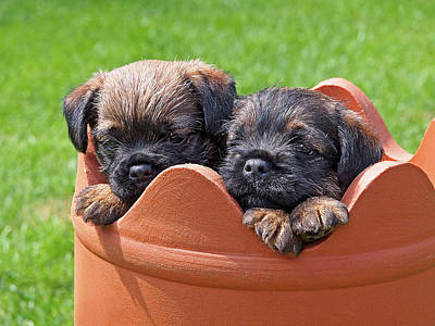 Flower Pot Puppies-border Terriers Poster by Gill Billington