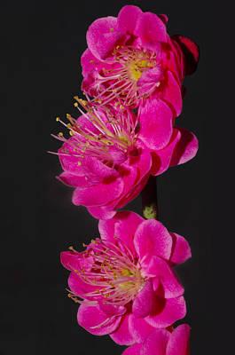 Flowering Apricot Poster by Harold Greer