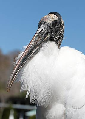 Fluffy Wood Stork Poster by Carol Groenen
