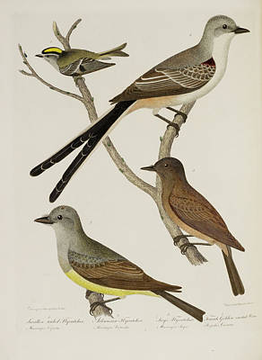 Flycatcher And Wren Poster by British Library