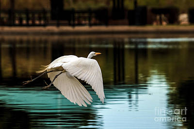 Flying Egret Poster by Robert Bales