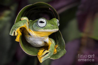 Flying Tree Frog Poster by Linda D Lester