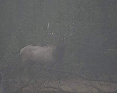 Foggy Morning Bull Elk Poster by Gary Langley