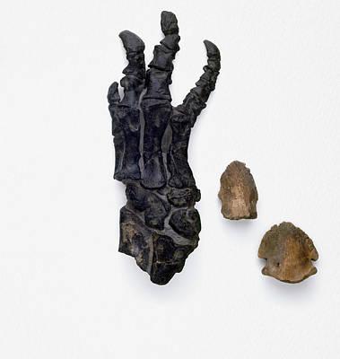 Foot Bones Of Hadrosaur And Triceratops Poster by Dorling Kindersley/uig