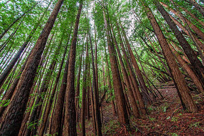 Forest Scene In Muir Woods State Park Poster by James White
