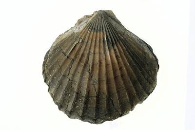 Fossil Scallop Shell Poster by Sinclair Stammers
