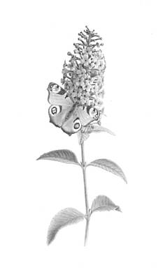 Fountain Butterfly Bush Poster by Diane Cardaci