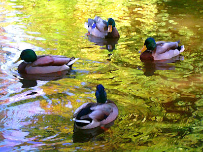 Four Ducks On Pond Poster by Amy Vangsgard