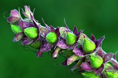 Foxglove Seed Pods Poster by Colin Varndell
