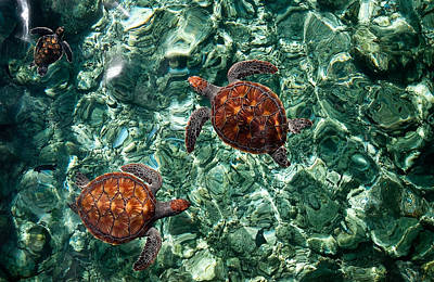 Fragile Underwater World. Sea Turtles In A Crystal Water. Maldives Poster by Jenny Rainbow