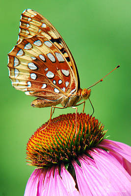 Fritillary Butterfly Poster by Christina Rollo