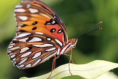 Fritillary Butterfly Poster by Pamela Gail Torres