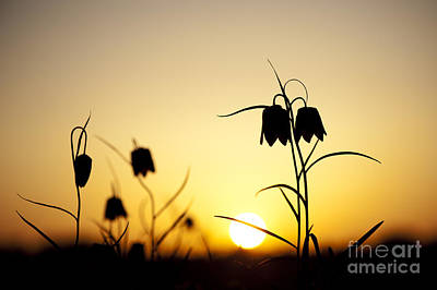 Fritillary Flower Sunset Poster by Tim Gainey