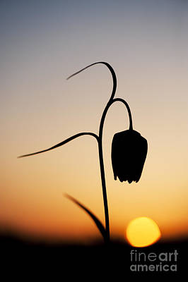 Fritillary Sunset Poster by Tim Gainey