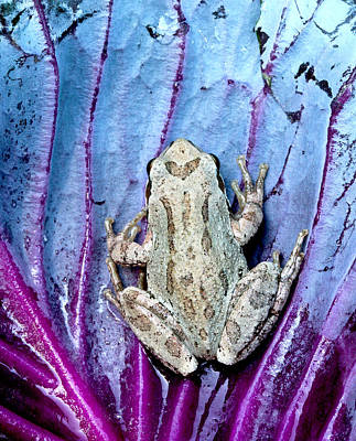 Frog On Cabbage Poster by Jean Noren