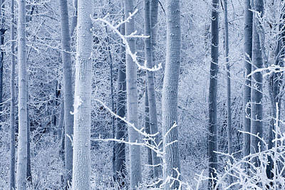Frost Coated Birch Forest Near Knik Poster by Carl R. Battreall