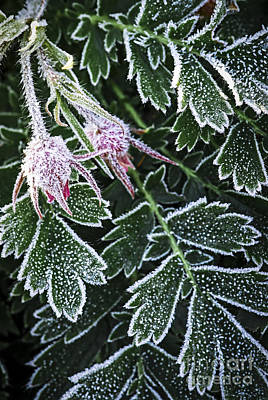Frost On Plants In Late Fall Poster by Elena Elisseeva