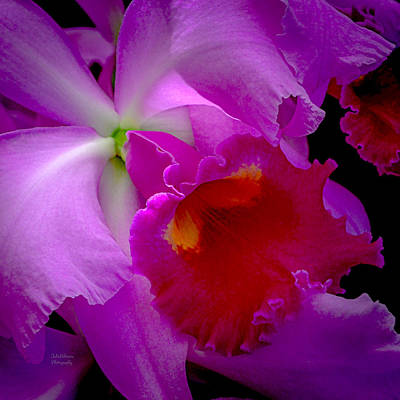 Fuchsia Cattleya Orchid Squared Poster by Julie Palencia