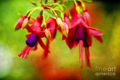 Fuchsia Poster by Darren Fisher
