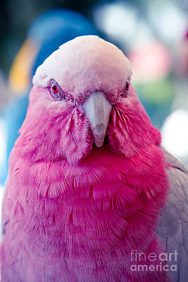 Galah - Eolophus Roseicapilla - Pink And Grey - Roseate Cockatoo Maui Hawaii Poster by Sharon Mau