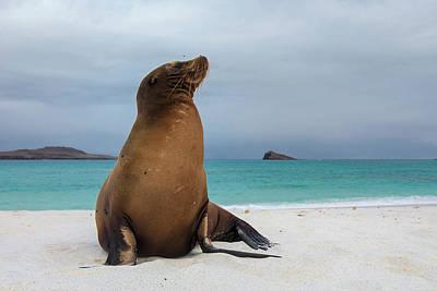 Galapagos Sea Lions (zalophus Wollebaeki Poster by Pete Oxford