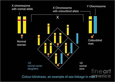 Genetics Of Color Blindness, Diagram Poster by Francis Leroy, Biocosmos