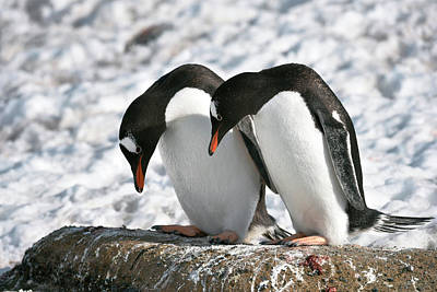 Gentoo Penguins Pair Bonding Poster by Dr P. Marazzi