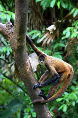 Geoffroy's Spider Monkey, Ateles Poster by Andres Morya Hinojosa