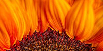 Gerbera On Fire Poster by Adam Romanowicz