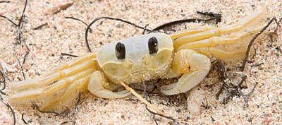 Ghost Crabs  Poster by Iris Richardson