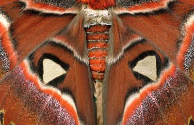 Giant Atlas Moth Poster by Nigel Downer
