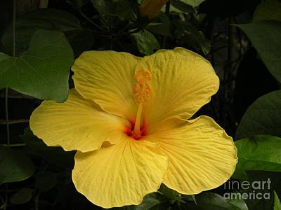 Giant Hibiscus Poster by Val Carosella