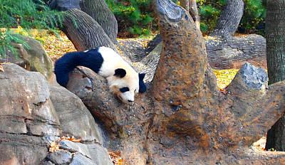 Giant Panda Nap Poster by Dan Sproul
