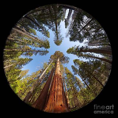 Giant Sequoia Fisheye Poster by Jane Rix