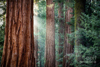 Giant Sequoias In Early Morning Light Poster by Jane Rix