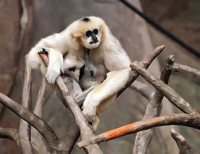 Gibbon Nursing Its Baby Poster by Chris Flees