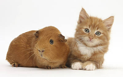 Ginger Kitten And Red Guinea Pig Poster by Mark Taylor