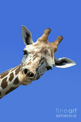 Giraffe Poster by John Greim