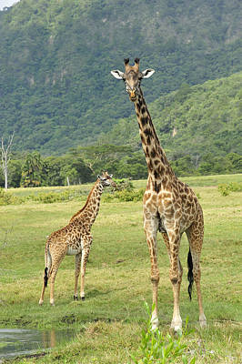 Giraffe Mother And Calftanzania Poster by Thomas Marent
