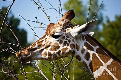 Giraffe Poster by Ms Judi