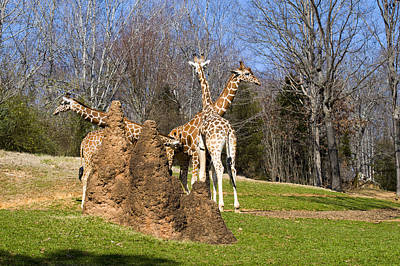 Giraffes By Termite Mound Poster by Chris Flees