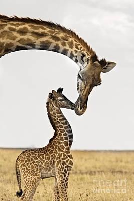 Giraffe's First Kiss Poster by Carol Walker