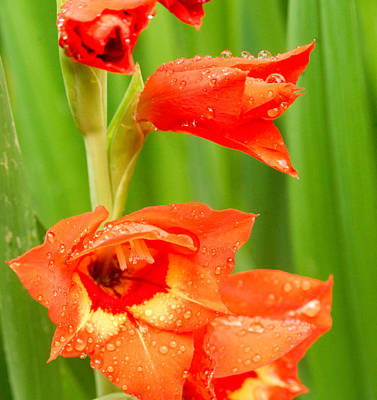 Gladiolus With Raindrops 2 Poster by Douglas Barnett