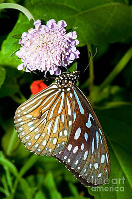 Glassy Blue Tiger Butterfly Poster by Millard H. Sharp