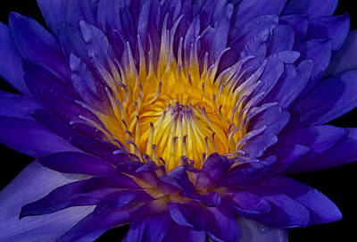 Glowing Waterlily Poster by Susan Candelario