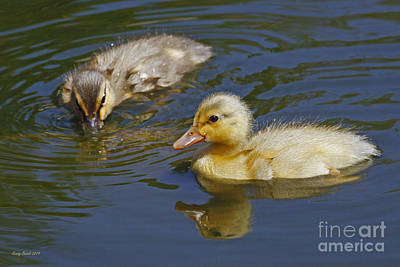 Gold And Brown Mallard Ducklings Poster by Kenny Bosak