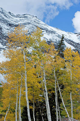 Golden Aspen Trees In Fall Colors Poster by Howie Garber