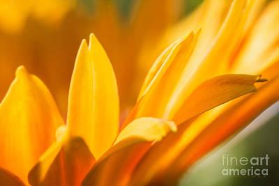 Golden Daisy  Poster by Iris Richardson
